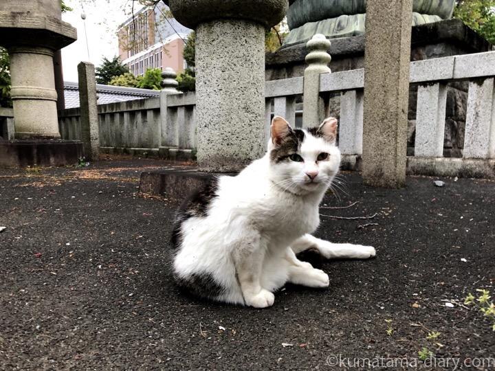 護国寺のキジトラ白猫さん