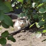 公園のキジトラ白猫さんたち