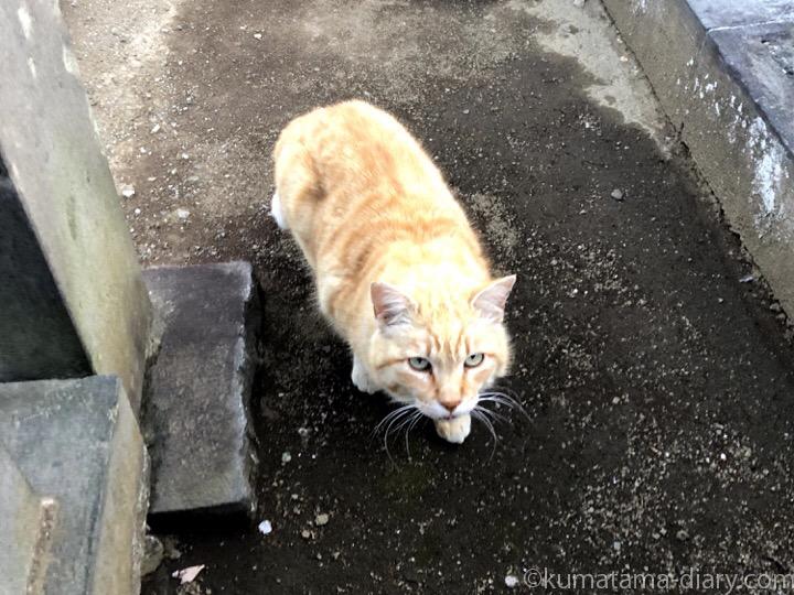染井霊園茶トラ猫さん