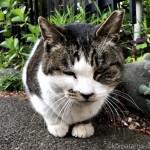 【文京区】スマホに頭突きするキジトラ白猫さん