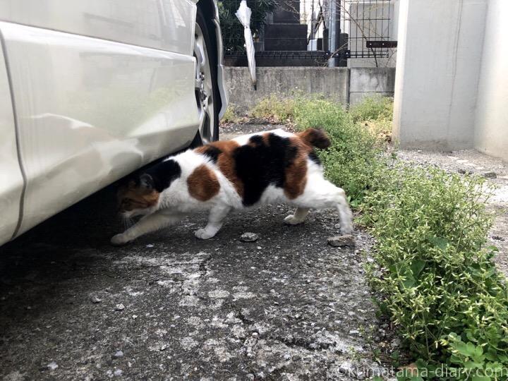 駐車場三毛猫さん