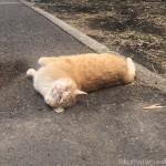 【入間市】お腹を見せて寝転がる茶トラ猫さん