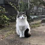 【文京区】吉祥寺のしっぽがふさふさなキジトラ白猫さん