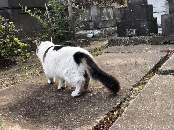 キジトラ白猫さんしっぽ