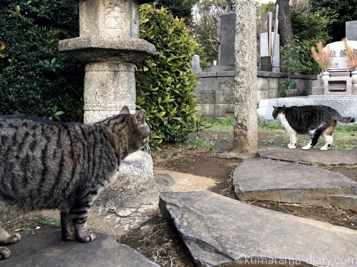 染井霊園キジトラ猫さんとキジトラ白猫さん