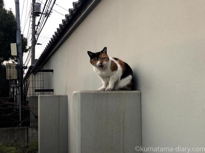 控え壁に乗る三毛猫さん