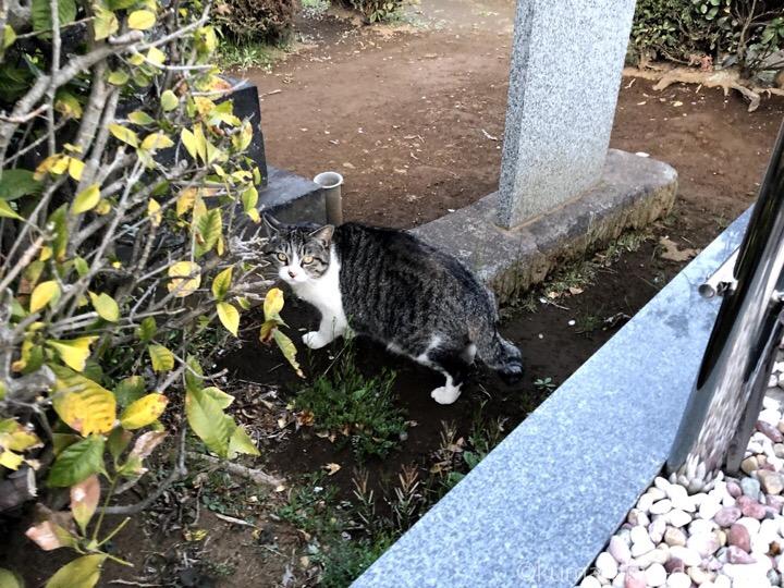 染井霊園キジトラ白猫さん