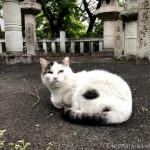 グルーミングするキジトラ白猫さん