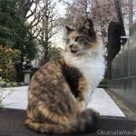 【文京区】吉祥寺の三毛猫さんと桜