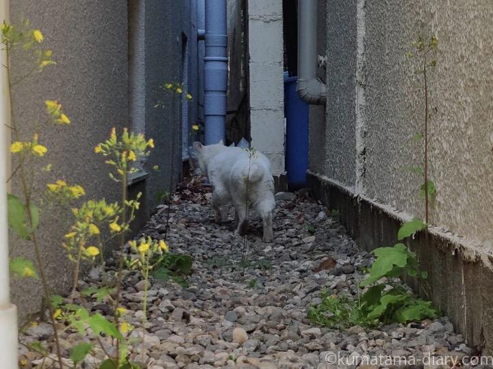路地の白猫さん