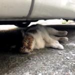【文京区】車の下で寝転がる三毛猫さん