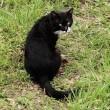 黒白猫さん舌