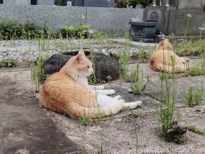 茶トラ猫さんと茶トラ白猫さん