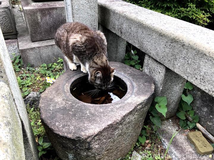 水を飲むキジトラ白猫さん