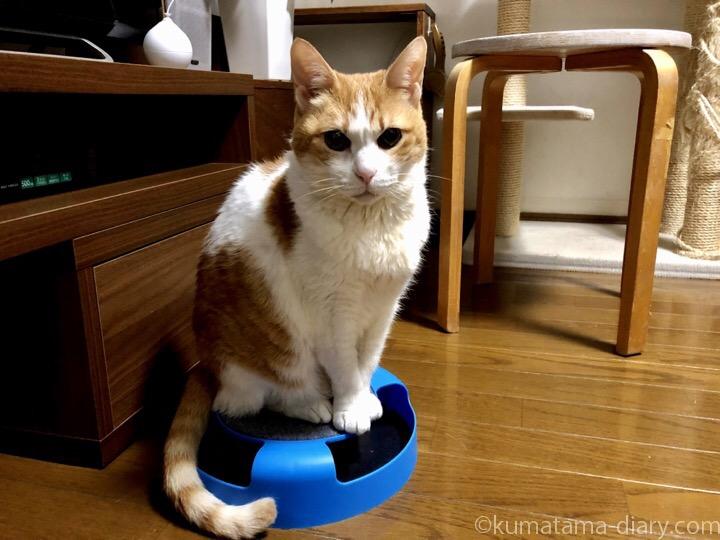 フライングタイガー猫用おもちゃに乗るたまき