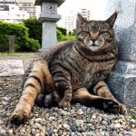 【巣鴨】足を投げ出して座る体の大きなキジトラ猫さん