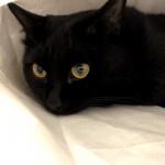 紙袋に入るのが好きな猫