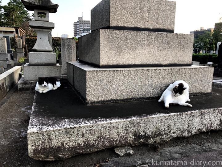 キジトラ白猫さんと黒白猫さん