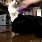 ブラッシングされる猫を信じられない思いで見る猫