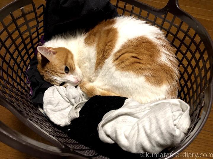 洗濯かごで寝るたまき