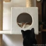 キャットタワーのボックスを覗く猫