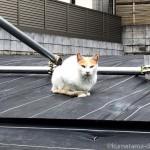 【椎名町】防草シートの上の猫さん