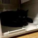 アイリスオーヤマの「トラベルキャリー」で寝るようになった猫