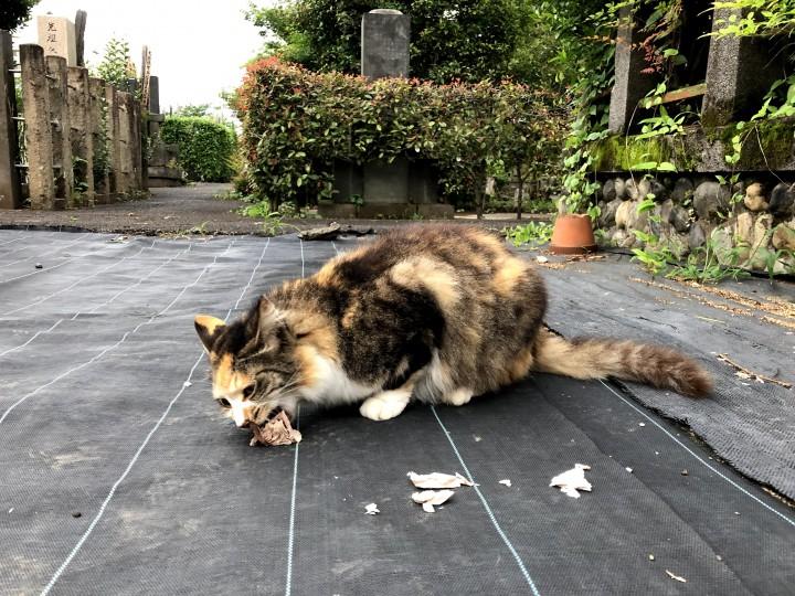 エサを食べる三毛猫さん