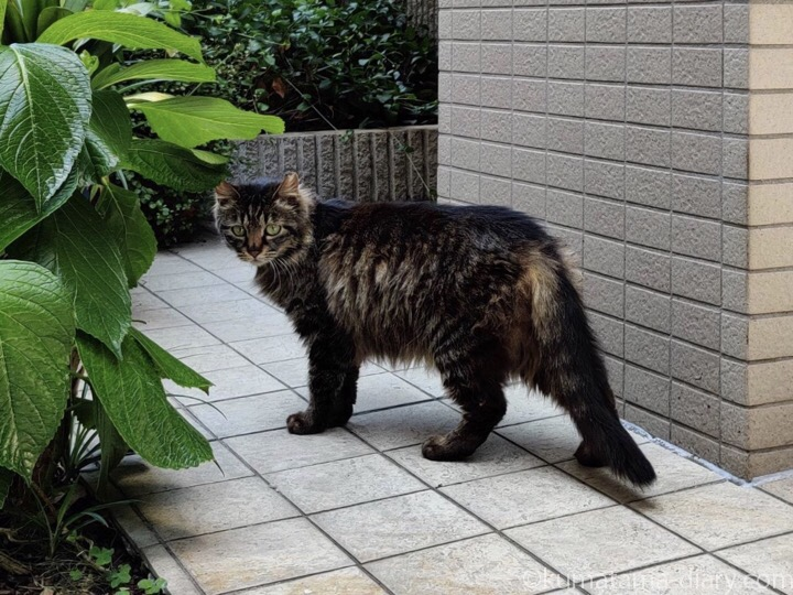 長毛っぽいキジトラ猫さん