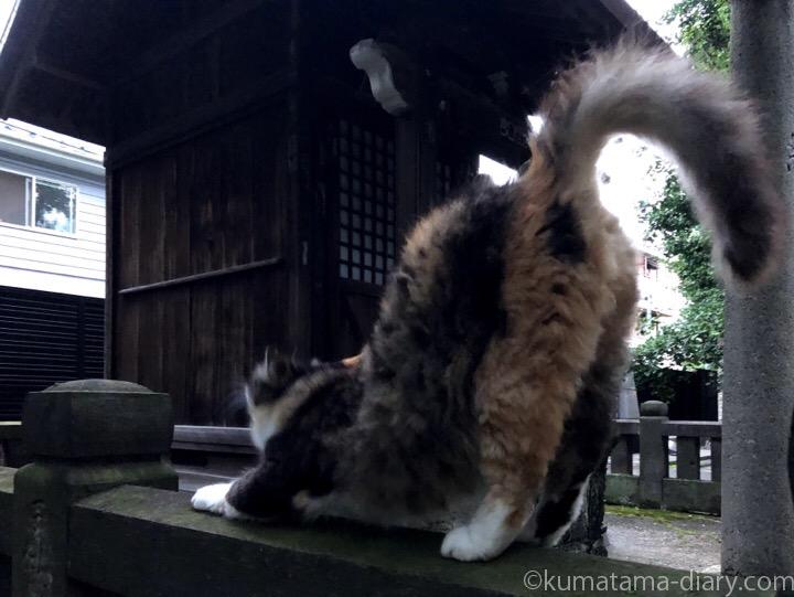 長毛三毛猫さん伸び
