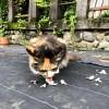 エサを食べる三毛猫さん舌