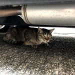 車の下で雨宿りする猫さんたち