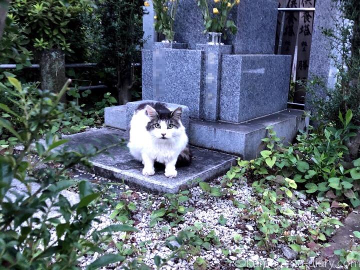 墓地のキジトラ白猫さん