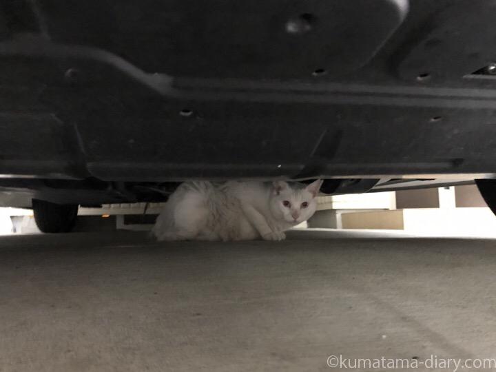 車の下の白猫さん