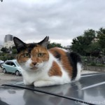 【文京区】車の上の三毛猫さん
