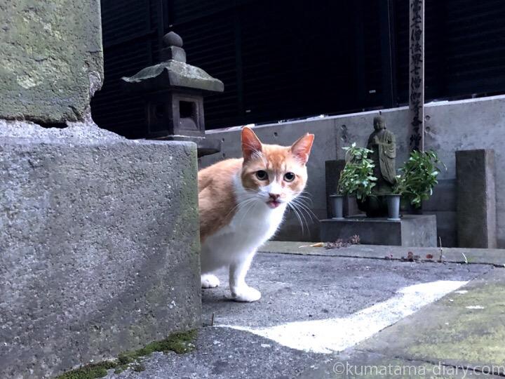 茶トラ白猫さん舌