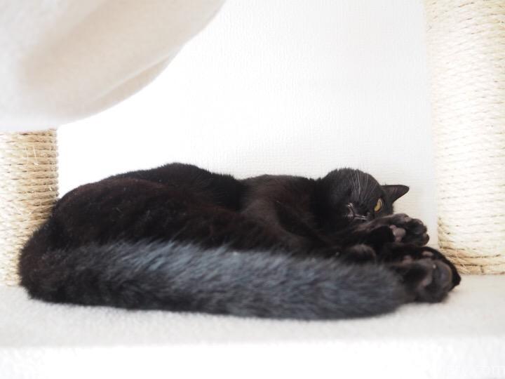 キャットタワーで寝そべるふみお