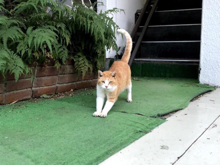 茶トラ白猫さん伸び