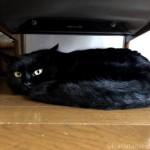 カリモク60「Kチェア1シーター スタンダードブラック」の下で寝る猫