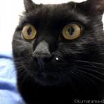 白いほくろを気にせずあくびする黒猫