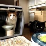手作りごはんのおかわりを待つ猫たち