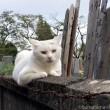 オッドアイ白猫さん