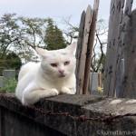 塀の上に乗っていたオッドアイの白猫さん