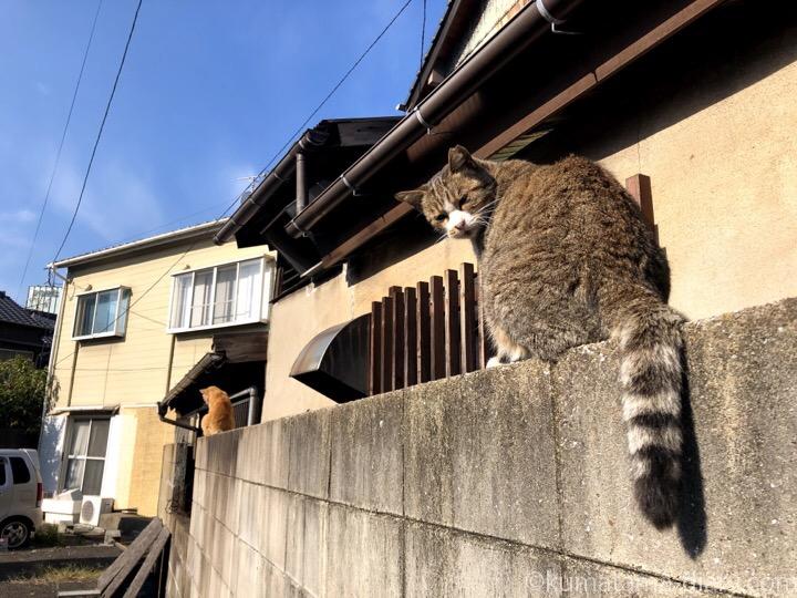 キジトラ猫さんと茶トラ猫さん