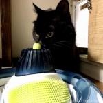 キャットニップスプレーをした「cat it プレイサーキット」にスリスリする猫