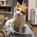 毛玉を結んだ毛糸で遊ぶ猫