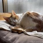ブラッシング嫌いの猫が怒らない「ピロコーム やわらかめ」