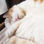 在宅勤務中、猫の寝顔を見て癒されています