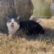 キジトラ白猫さんあくび