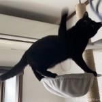 【月命日】ハンモックに乗っておもちゃで遊ぶ猫